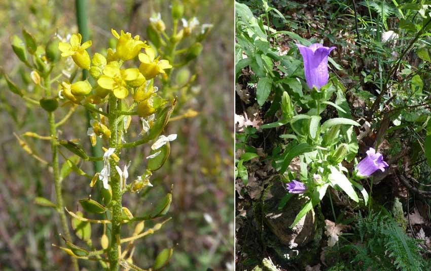Fig.13. Flora spontanea che si può osservare nei dintorni dell'area archeologica della Brina.
