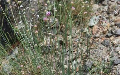 fig. 3. Armeria denticulata (Bertoloni) su uno dei versanti de La Nuda, il colle sul quale sorgeva il   castello della Brina.