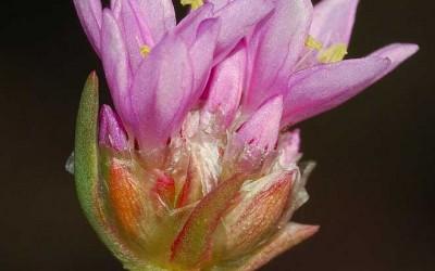 fig. 4b. Armeria denticulata (Bertoloni), particolare dell'infiorescenza.